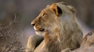 Lion in Addo Elephant park