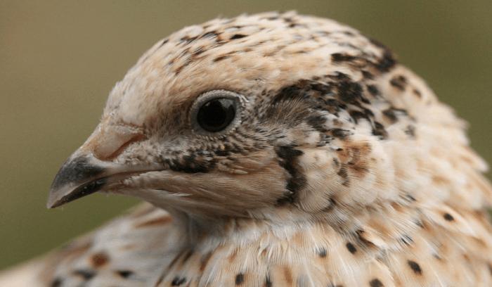 Ternak Puyuh Petelur - Burung Puyuh