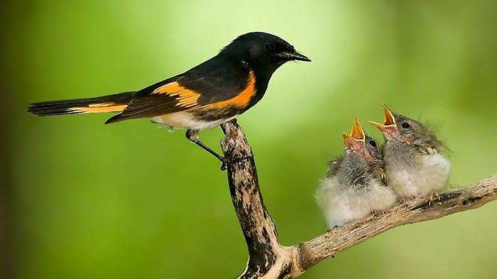 Peternak Murai Batu - Memberi Makan Burung