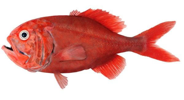 ikan terlangka di dunia yang wajib kamu lihat 10 Ikan Terlangka di Dunia yang Terancam Punah
