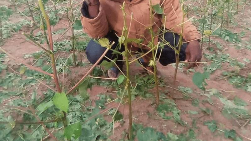 Mali. Agriculture : plusieurs champs ravagés à Wassoulou, les cultivateurs demandent de l'aide