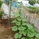 九重栗カボチャ:藤棚栽培