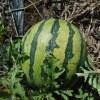大玉スイカ:収穫を始める