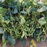 枝豆:収穫を終える