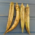 オクラ:種莢を採る