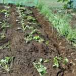 のらぼう菜:苗の植付け