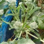 スティックブロッコリー(2):側枝の収穫を始める