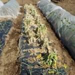移植菜花:撤収