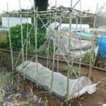 ゴーヤ:藤棚式支柱づくり