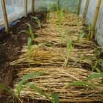 トウモロコシ(2):畝に麦藁を敷く