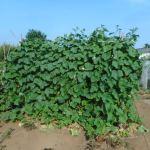 キュウリ:収穫本数が1株120本を超える