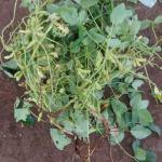枝豆(2):収穫を始める
