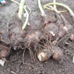 サトイモ:収穫を始める