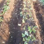 イチゴ:苗の植付け(3)