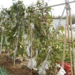 ナス:台風で倒れた秋ナスを元に戻し追肥を施す