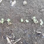 小松菜(2):発芽が始まる