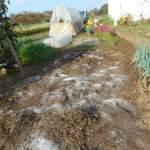 緑肥用麦:土づくり(2)