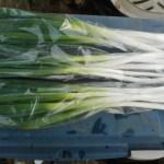 長ネギ:収穫を始める