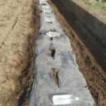 アスパラガス(2):苗の畝づくり