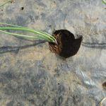 玉ネギ:苗の植え付け(3)