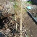 アスパラガス:立茎の刈り取り