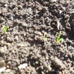 ホウレン草(4):発芽が始まる