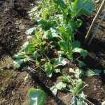 小松菜(1):収穫を終える