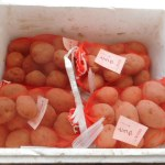 ジャガイモ:浴光催芽を始める