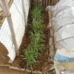 緑肥用麦:種麦の移植