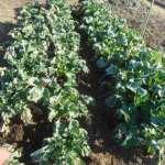 のらぼう菜:1回目の潅水