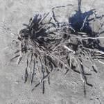 アスパラガス:古株を移植する