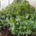 シュンギク(2):春シュンギクの収穫を始める