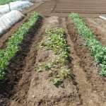 スナップエンドウ:追肥・中耕・土寄せ