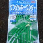 蔓ありインゲン(1):播種
