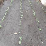 小松菜(4):発芽が始まる
