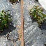 ジャガイモ:霜害に遭う