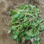ジャガイモ:芽欠き