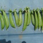 スナップエンドウ:収穫を始める