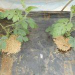大玉スイカ:苗の摘芯