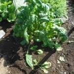 ホウレン草(7):収穫を終える