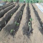サトイモ:種イモの植付け(1)