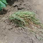 エシャレット:収穫を終える