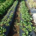 イチゴ:防鳥ネットの撤去