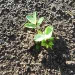 落花生:発芽が始まる
