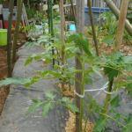 ミニトマト(2):本支柱を立てる
