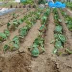 サトイモ:畝の除草