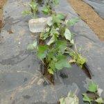 サツマイモ:4回目の植付け