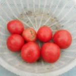 大玉トマト:収穫を始める