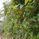 ヤマイモ:ヤマイモの開花