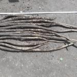 秋播きゴボウ:収穫を始める